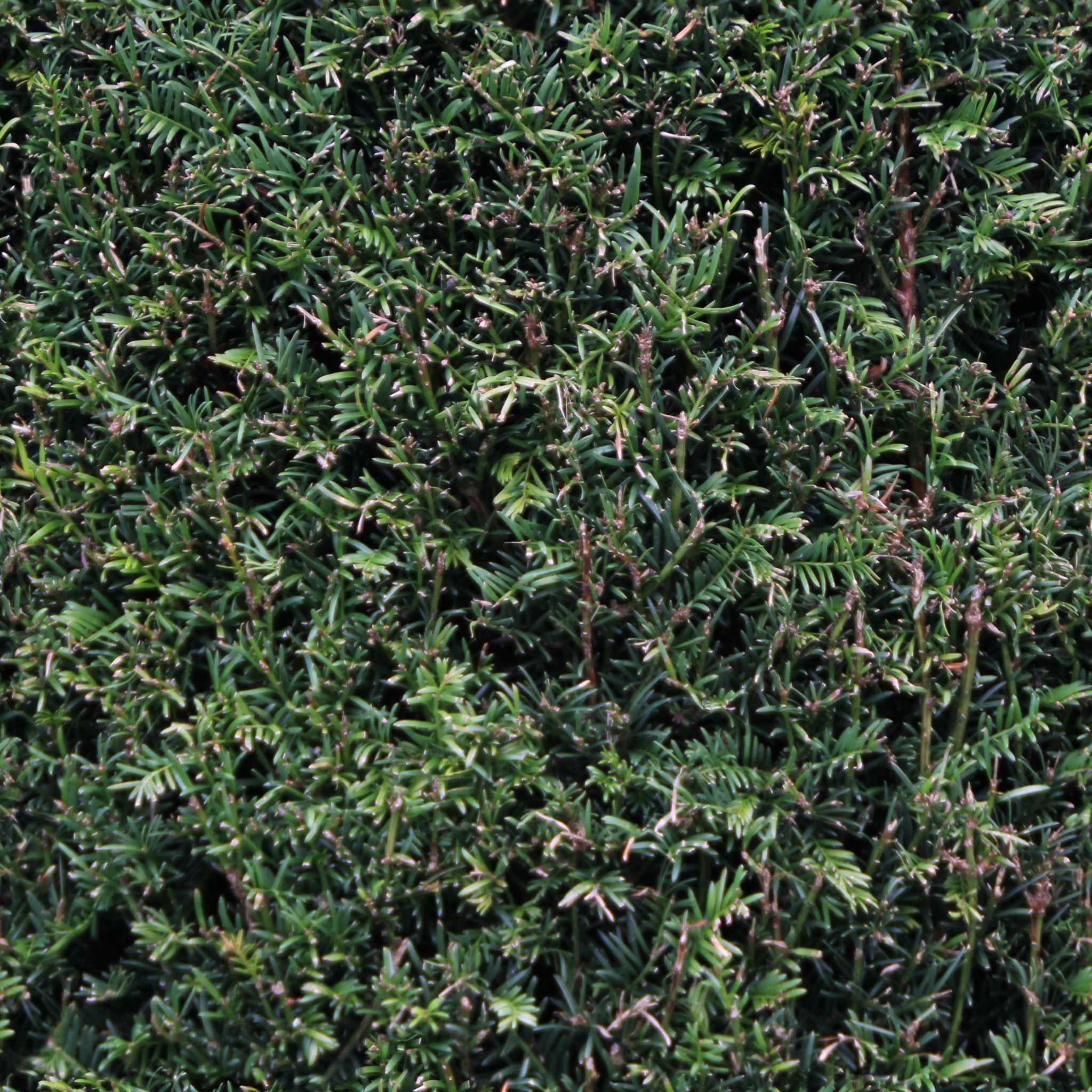Evergreen Bush - Seamless Texture | OpenGameArt.org