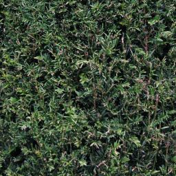 evergreen bush seamless texture. Black Bedroom Furniture Sets. Home Design Ideas