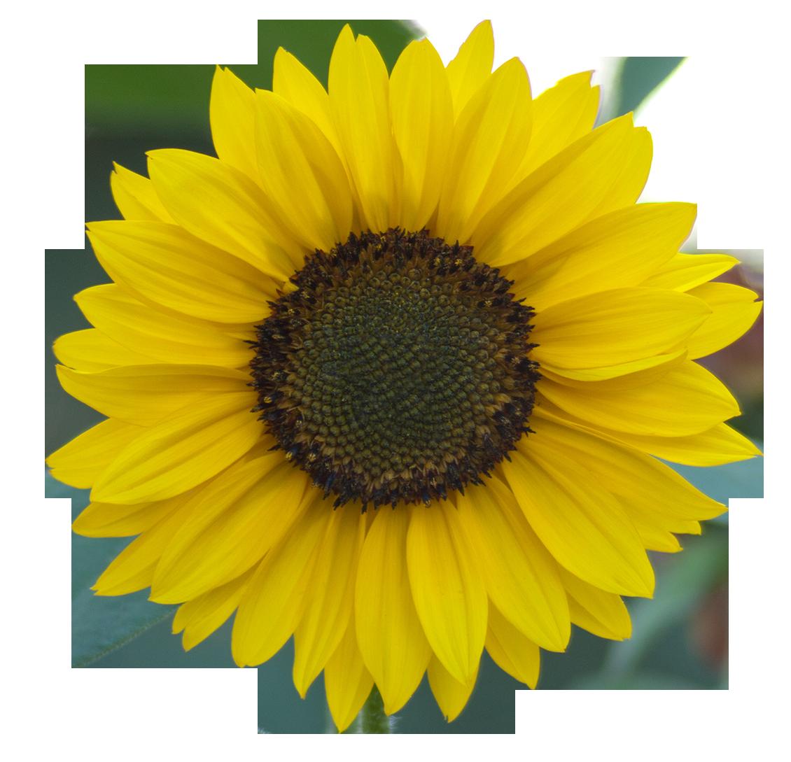 Sunflower Png Images Transparent Background: Paramecij's Vegetation Base Texture Pack